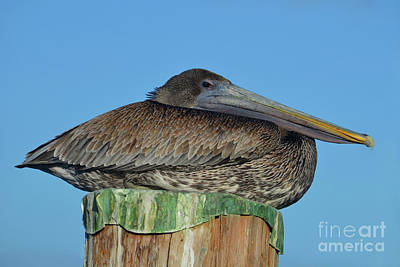 Photograph - 97- Brown Pelican by Joseph Keane