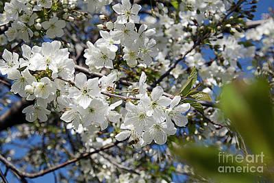 Photograph - Tree Blossoms by Elvira Ladocki