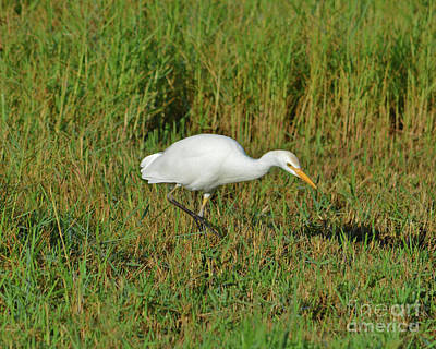 Photograph - 99- Cattle Egret by Joseph Keane