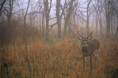 Natural Forces Photograph - A 8-point White-tailed Deer Buck by Raymond Gehman