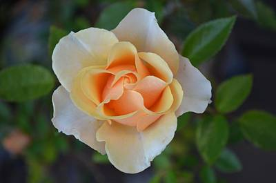 Photograph - A Baby Rose by