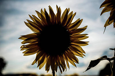 Photograph - A Backlit Sunflower by Anthony Doudt