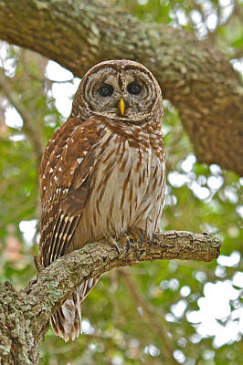 Photograph - A Barred Owl by Don Mercer
