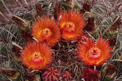 Barrel Cactus Photograph - A Barrel Cactus Is Blooming by George Grall