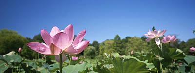 A Beautiful Emperor Lotus Blooms Print by Richard Nowitz