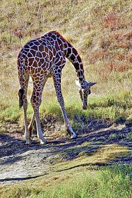 Photograph - A Beautiful Giraffe  by Kirsten Giving