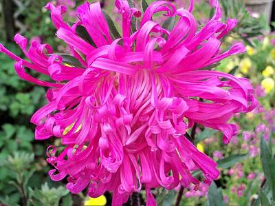 Photograph - A Beautiful Pink Aster by Nancy Pauling