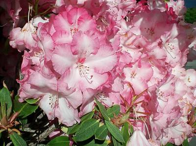 Photograph - A Beautiful Pink Rhododendron by Nancy Pauling