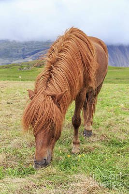 Photograph - A Beautiful Red Mane On An Icelandic Horse by Edward Fielding