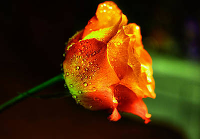 Golden Rose Photograph - A Beautiful Wet Rose by Jeff Swan