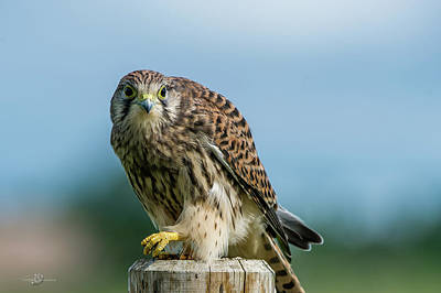 Photograph - A Beautiful Young Kestrel Looking Behind You by Torbjorn Swenelius