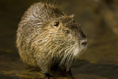 A Beaver From The Omaha Zoo Art Print by Joel Sartore