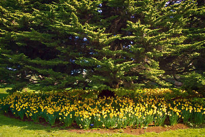 Photograph - A Bed Of Narcissus by Bonnie Follett