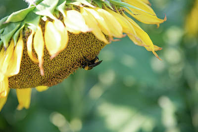 Photograph - A Bee In Pollen On A Big Sunflower by Anthony Doudt
