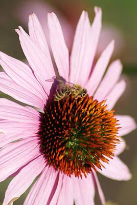 Photograph - A Bee On A Flower Vertical by Ben Upham III