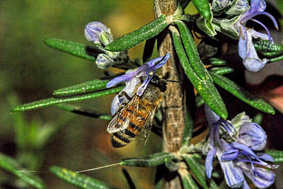 Photograph - A Bee On A Rosemary 1 by Isam Awad