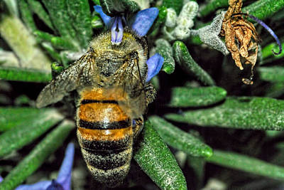 Photograph - A Bee On A Rosemary 2 by Isam Awad