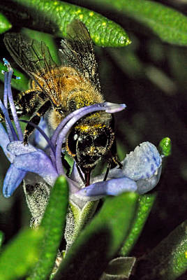 Photograph - A Bee On A Rosemary 5 by Isam Awad