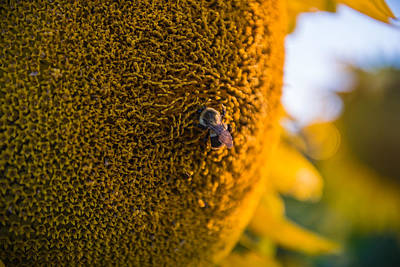Sunflowers Royalty-Free and Rights-Managed Images - A Bee on the Sun by Kristopher Schoenleber