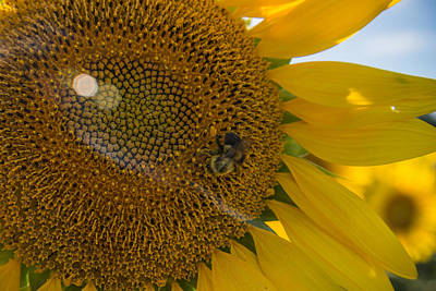Sunflowers Royalty-Free and Rights-Managed Images - A Bees Work by Kristopher Schoenleber