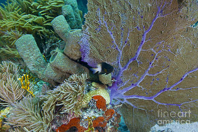 Undersea Photograph - A Bi-color Damselfish Amongst The Coral by Terry Moore