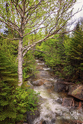 Photograph - A Birch Tree And A Stream by Elizabeth Dow