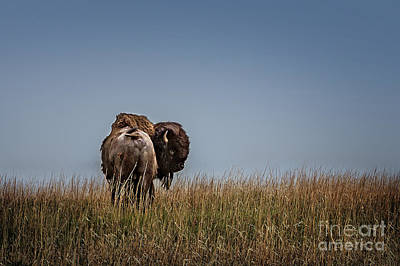 Photograph - A Bison Interrupted by Tamyra Ayles