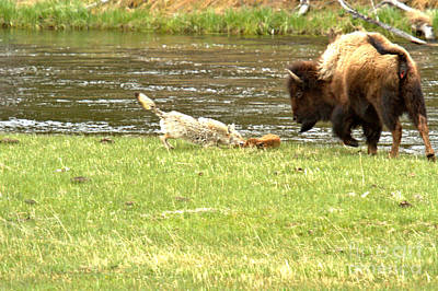 Photograph - A Bite Of Bison by Adam Jewell