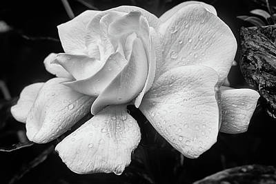 Photograph - A Black And White Gardenia by JC Findley