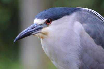 Photograph - A Black-crowned Night Heron Macro by Warren Thompson