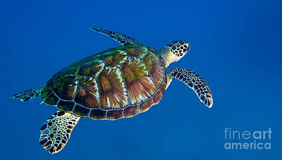 Photograph - A Black Sea Turtle Off The Coast by Michael Wood