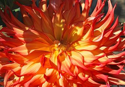 Photograph - A Blaze Dahlia Days by Suzanne McDonald