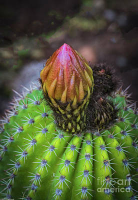Photograph - A Blooming Cactus by Mitch Shindelbower