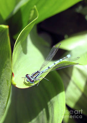Photograph - A Blue Dragonfly by Ausra Huntington nee Paulauskaite