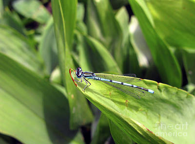 Photograph - A Blue Dragonfly Profile by Ausra Huntington nee Paulauskaite