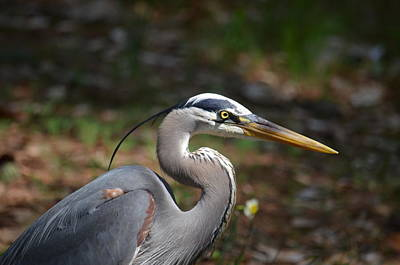 Photograph - A Blue Heron Closeup 2015 by Maria Urso