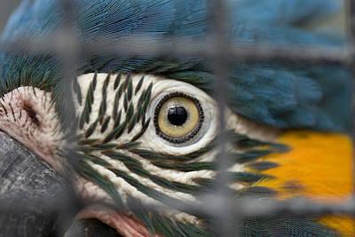 Blue Throat Photograph - A Blue-throated Macaw Ara Glaucogularis by Joel Sartore