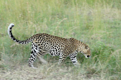 Photograph - A Blur Of Leopard by Michele Burgess