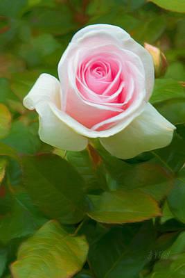 Photograph - A Blushing Rose Hello by Bonnie Follett