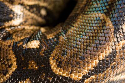 Boa Constrictor Photograph - A Boa Constrictor Boa Constrictor by Joel Sartore
