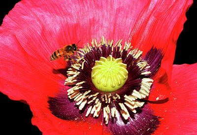 Photograph - A Boppy - A Poppy With A Bee 001 by George Bostian