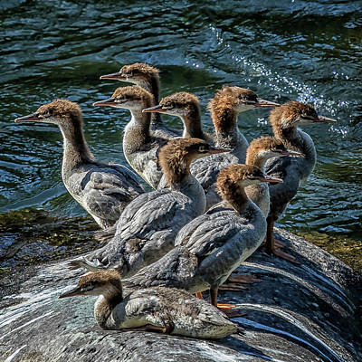 Photograph - A Bouquet Of Mergansers by Belinda Greb