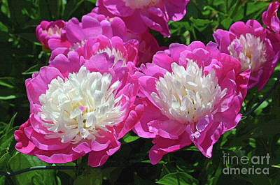 Digital Art - A Bouquet Of Peonies by Eva Kaufman