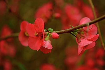 Photograph - A Branch Of Quince by John Harding
