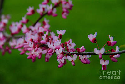 Photograph - A Branch Of Spring by Roger Becker
