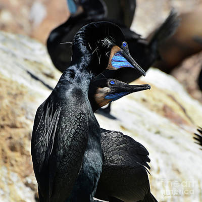 Art Print featuring the photograph A Brandt's Cormorant Courtship by Susan Wiedmann