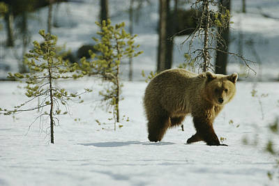 Natural Forces Photograph - A Brown Bear Ursus Arctos Walks by Mattias Klum