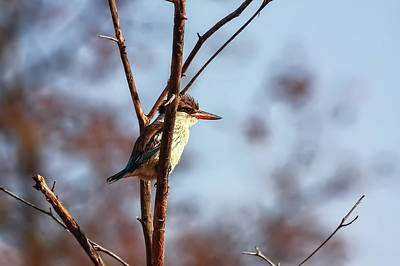 Photograph - A Brown-hooded Kingfisher  by Kay Brewer