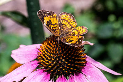 Pearl Crescent Photograph - A Browsing Pearl Crescent Butterfly by Douglas Barnett