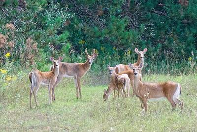 Photograph - A Buck And His Does by Michael Peychich